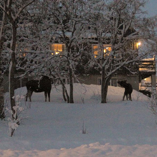 Mama moose and baby moose (heavily edited due to low light 🤷) #moose #kongsvik #norway #february #2020